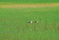 Rice field. Birds walking in rice field royalty free stock images