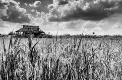 Rice field black and white Stock Image