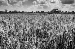 Rice field black and white Royalty Free Stock Images