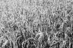 Rice field black and white Royalty Free Stock Photography