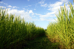 Rice field blu sky Stock Photography