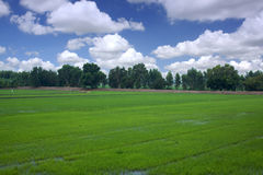 Rice field blue planting season green sky clouds. Royalty Free Stock Images