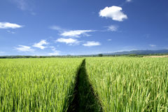 Rice field and blue sky Stock Photos