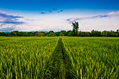Rice field with blue sky Royalty Free Stock Image