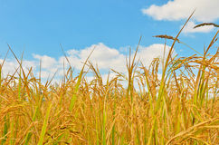 Rice field in blue sky Stock Image