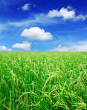 Rice field with blue sky Royalty Free Stock Images