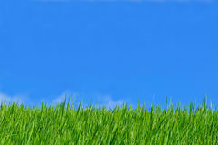 Rice field blue sky Stock Photo