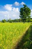 Rice field and blue sky Stock Image