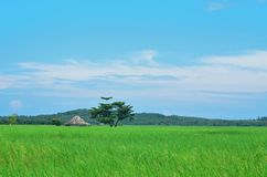 Rice field , blue sky. And one cottage Stock Photo