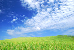 Rice Field. With Blue sky Royalty Free Stock Photos