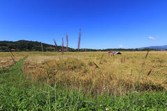 Rice field and blue sky background Stock Photography
