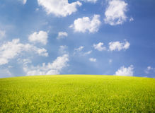 Rice field on blue sky background. Rice sky background represents peace and beauty Stock Image