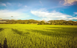 Rice field with blue sky, beautiful landscape in Lamphun Thailan Stock Photography