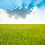 Rice field and blue sky Royalty Free Stock Photo
