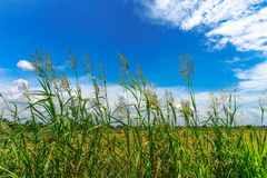 Rice field on blue sky and cloud background in sunshine Stock Photo