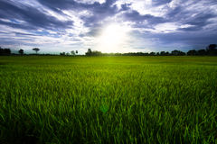 Rice field with blue sky and clouds Royalty Free Stock Images