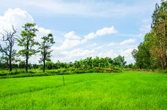 Rice field blue sky Royalty Free Stock Image