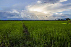 RICE Field, blue sky. Paddy rice field with cloud background Stock Images