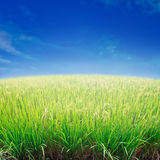 Rice field and blue sky. Royalty Free Stock Photos