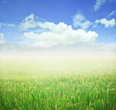 Rice field and blue sky. Royalty Free Stock Photo