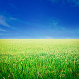Rice field and blue sky. Stock Images