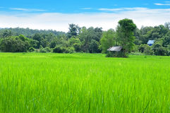 Rice field and blue sky. Rice,plants,nature,thailand,country,field,hut,forest,background photo, image,landscape,blue sky,farmer,green nature,plant,farm,blue sky Royalty Free Stock Image