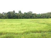 Rice field on blue sky.Rice field on blue sky. stock photography