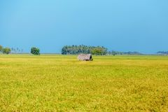 Rice, rice field, blue sky, Sri Lanka. Harvest, yellow color Stock Image