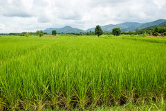 Rice field and the blue sky Royalty Free Stock Photo
