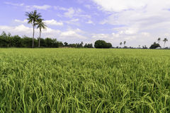 Rice field with blue sky, Suphan Buri, Thailand Royalty Free Stock Images