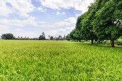 Rice field with blue sky, Suphan Buri, Thailand Stock Photos