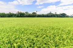Rice field with blue sky, Suphan Buri, Thailand Stock Photo