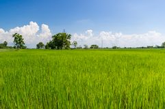 Rice field and blue sky. Stock Image