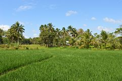 Rice field in Bohol, Philippines royalty free stock images