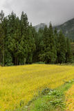Rice field borders forest in Shirakawago. Stock Images