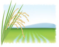 Rice field and a branch of ripe rice. Royalty Free Stock Photo