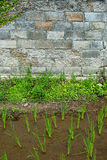 Rice field and brick wall Stock Photography