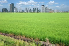Rice field buildings Stock Images