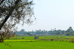Rice field in Burma. Royalty Free Stock Photo