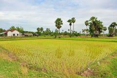 Rice field in Cambodia Stock Photos