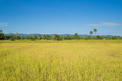Rice field at Cambodia Royalty Free Stock Images