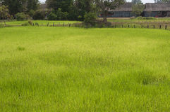 Rice field in Cambodia Royalty Free Stock Images