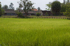 Rice field in Cambodia Royalty Free Stock Image