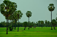 Rice field in Cambodia Royalty Free Stock Photo