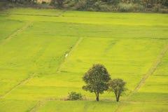 Rice field, Cambodia Stock Photos