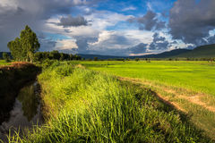 Rice field and canal Royalty Free Stock Photography