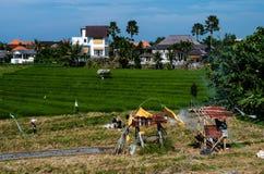 Rice field in Canggu Stock Image