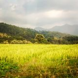 Rice field with central tree and monsoon sky Royalty Free Stock Photos