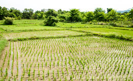 Rice field, Chiang Mai Stock Photography