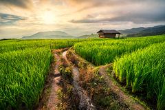 Rice field in Chiang Mai. Sunset at rice field terrace in Mae Cham, Chiang Mai, Thailand stock photography